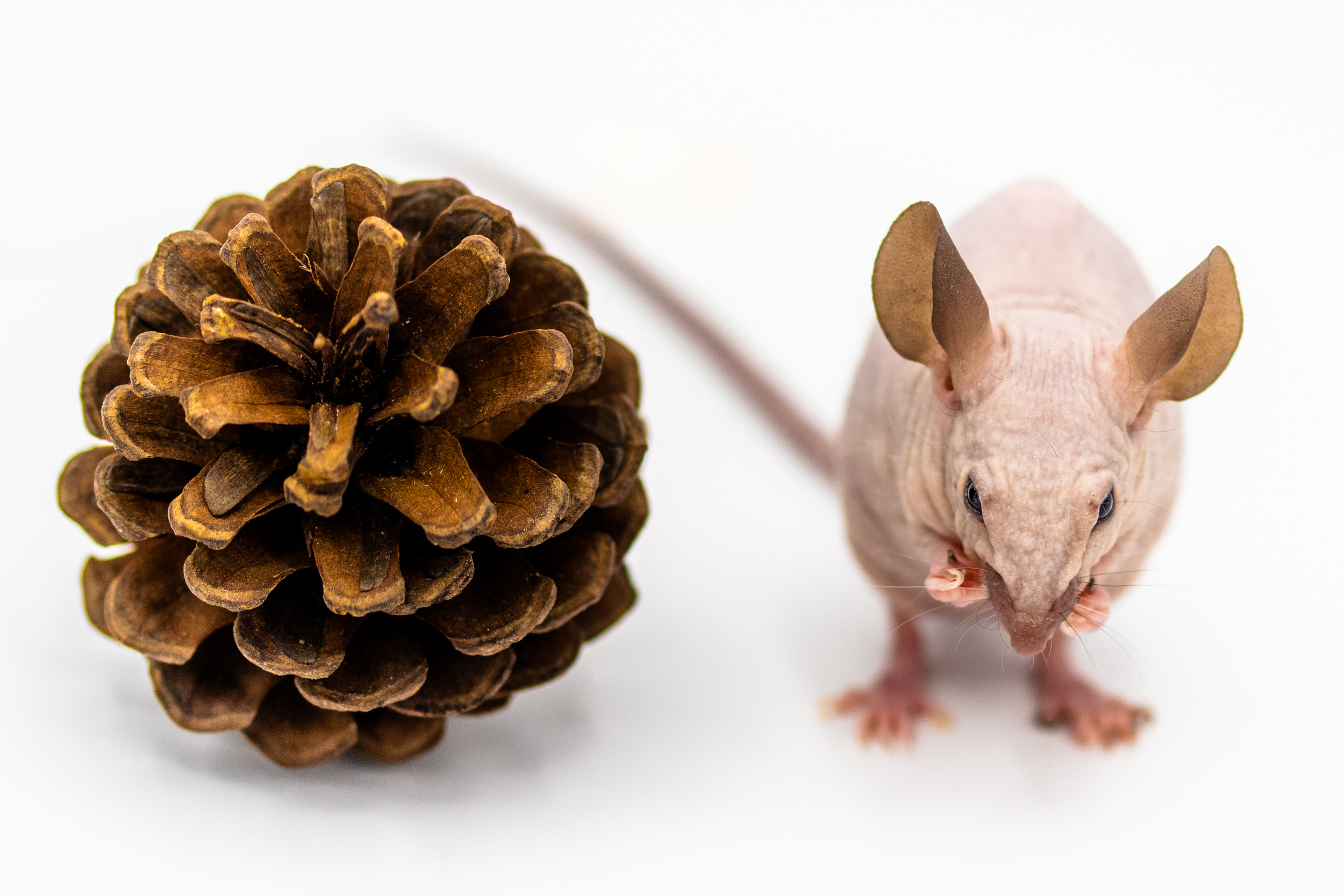 Alice the hairless mouse with pinecone