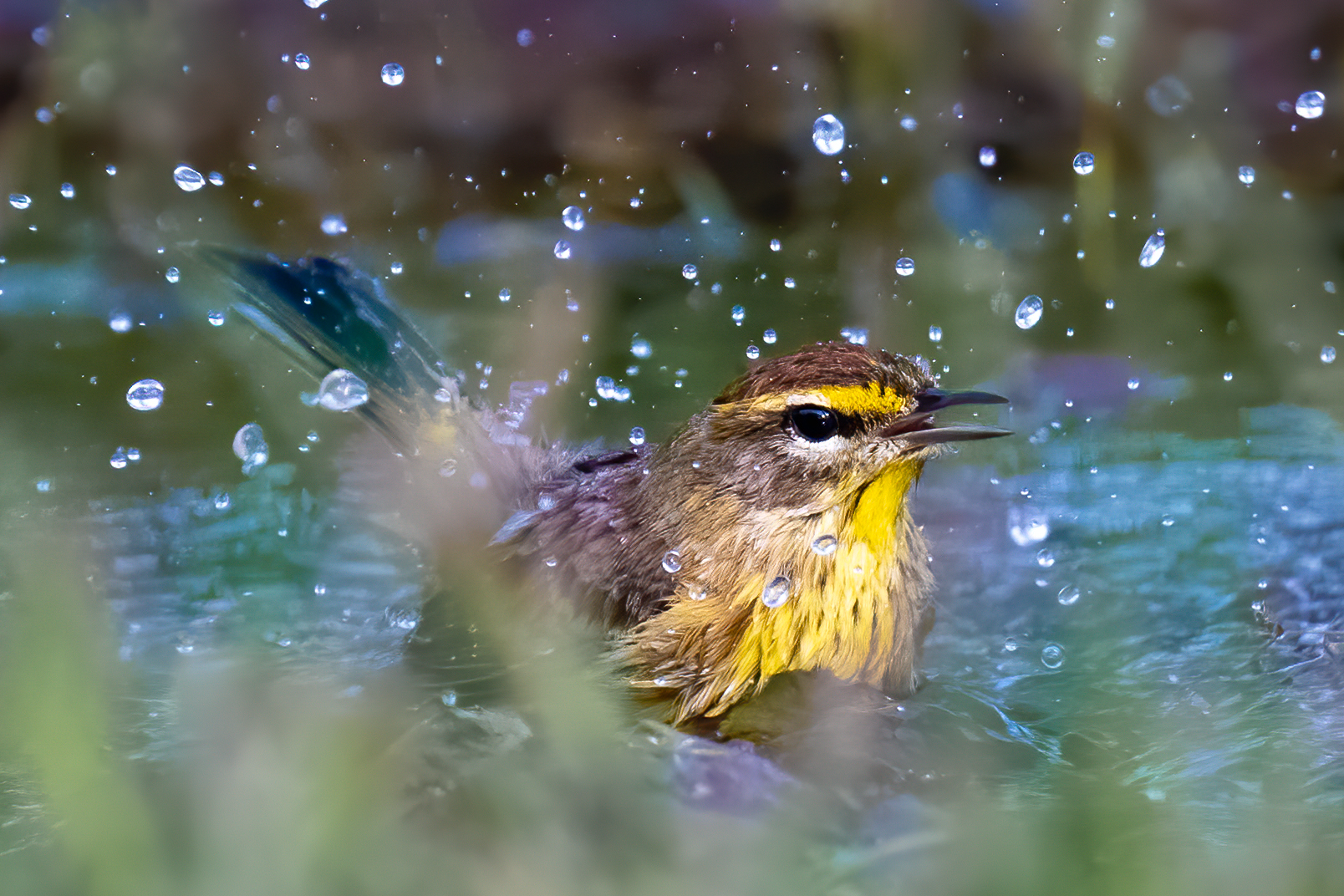 Palm warbler taking a bath in a puddle